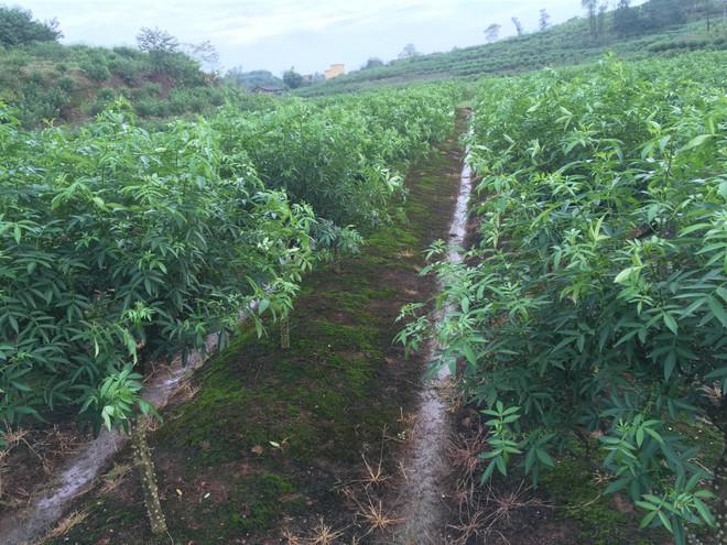大家看到上图中的地块属于比较低洼的田地改成的旱地,因此在雨季的时候来水比较多,因此必须做好排水工作,不然耐旱不耐涝的九叶青花椒很容易被水泡坏根部而逐渐的枯黄落叶,最后死掉,或者导致大量的减产。上图中的种植密度在实际生产中还可以适当的加大,充分利用好每一寸的空间,这样才能让利益最大化,用最少的土地产生出最大的经济效益。现在的生产中比较普遍的种植密度在一亩150株左右,如果属于斜坡地,可以适当的加大密度。青花椒的种植成功与否的关键在于修剪枝条,培育树形,大家在上图中看到的这些花椒树的树形基本上算是比较理想,