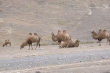 """新疆兵团农八师""""花果山""""下的家骆驼群"""