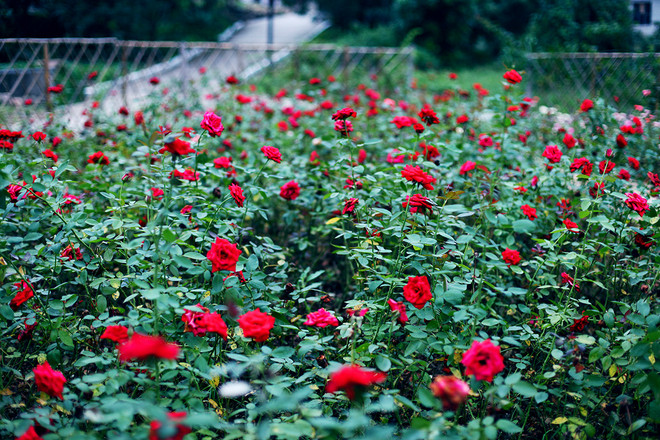 24玫瑰花海.jpg