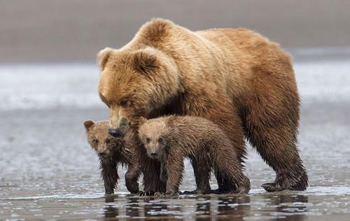 动物界的母爱 熊妈妈拥抱幼熊温馨一幕